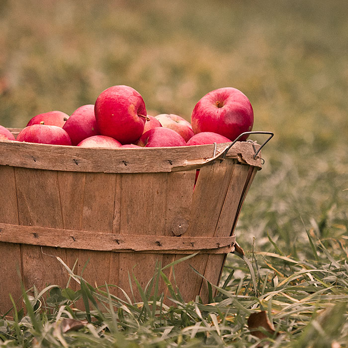 Bushel basket full of apples