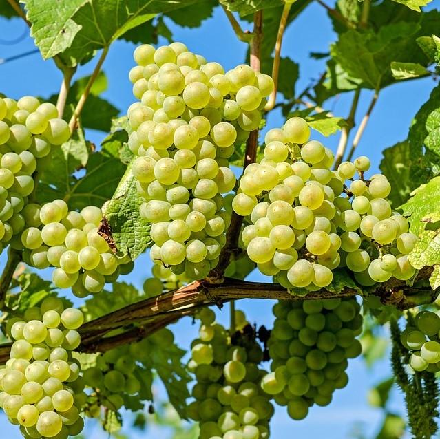 Grapes (square)